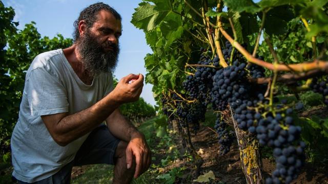 """Murre Sofrakis s'est lancé dans le vin nordique en 2001, dans le sud de la Suède"""". Ici dans ses vignes le 28 août 2019 [Jonathan NACKSTRAND / AFP]"""