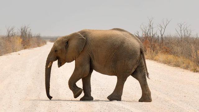 Le nombre de pachydermes de savane a baissé de 30 entre 2007 et 2014, en raison du braconnage, selon l organisation Great Elephant Census.