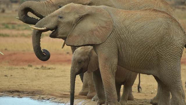 Le nombre d'éléphants d'Afrique a chuté de 1,3 million dans les années 1980 à moins de 400.000 aujourd'hui, selon une ONG.