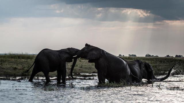 Quelque 135.000 éléphants vivaient encore en liberté au Botswana en 2015.