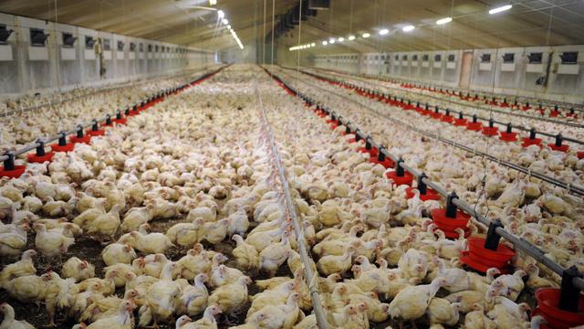Les signataires de la tribune interpellent les pouvoirs publics pour mettre fin à l'élevage intensif et industriel.