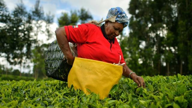 Une agricultrice cueille à la main des feuilles de thé, le 27 septembre 2019 au nord de Nairobi, au Kénya [TONY KARUMBA / AFP]