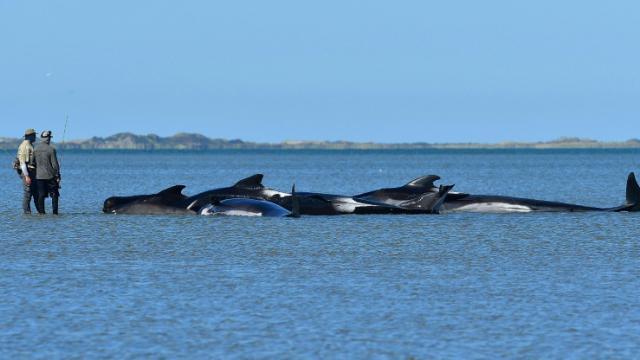 Des baleines-pilotes échouées à Farewell Spit, en Nouvelle-Zélande, le 11 février 2017  [Marty MELVILLE / AFP]
