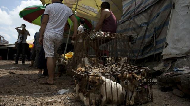Des chiots en cage sont vendus aux consommateurs, lors du festival de la viande de chien, à Yulin, le 21 juin 2015.