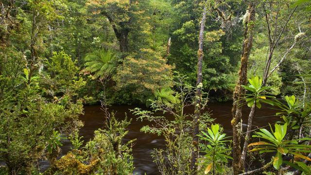 Les forêts de Tasmanie (Australie) sont classées au patrimoine mondial de l'humanité depuis 1982.