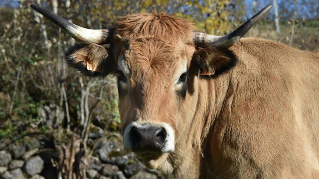 Haute, la vache de race Aubrac, avait été la star de l'édition 2018 [PASCAL PAVANI / AFP].