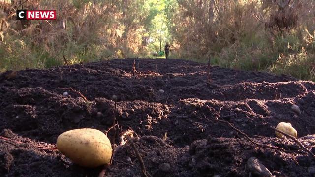 Des pommes de terre cultivées au milieu des pins