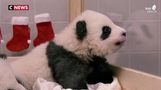 Deux bébés pandas jumeaux fêtent leur premier noël