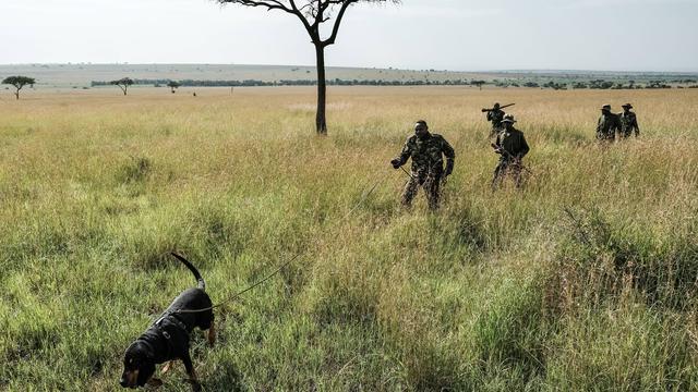 Rangers kenyans qui suivent les traces d'un animal avec un chien de sang