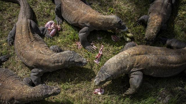 Dragons de Komodo