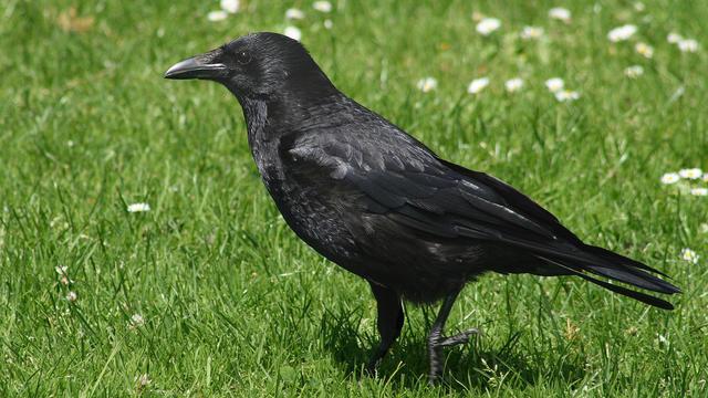 L'oiseau aurait beaucoup plu à Alfred Hitchcock