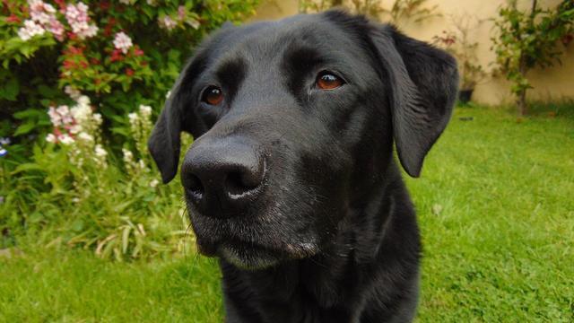 Labrador - noir