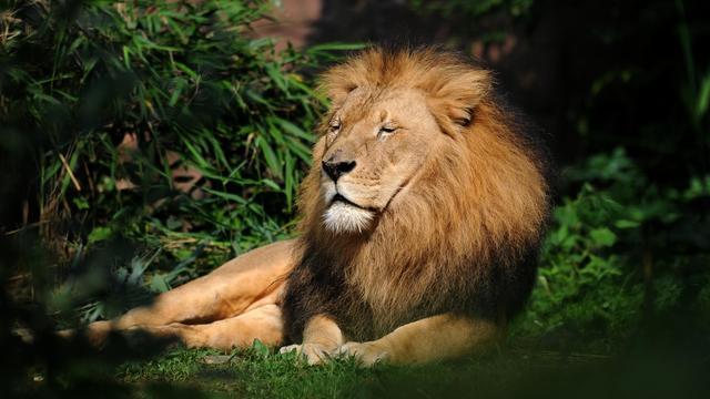 Un lion. (Photo d'illustration).