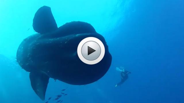 Video Il Plonge Avec Une Mole Un Poisson Lune Geant Www Cnews Fr