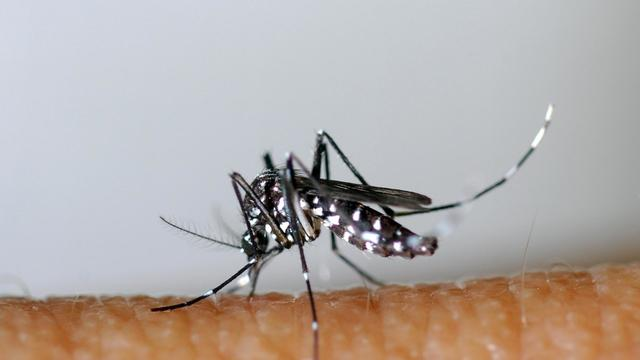 Un moustique tigre