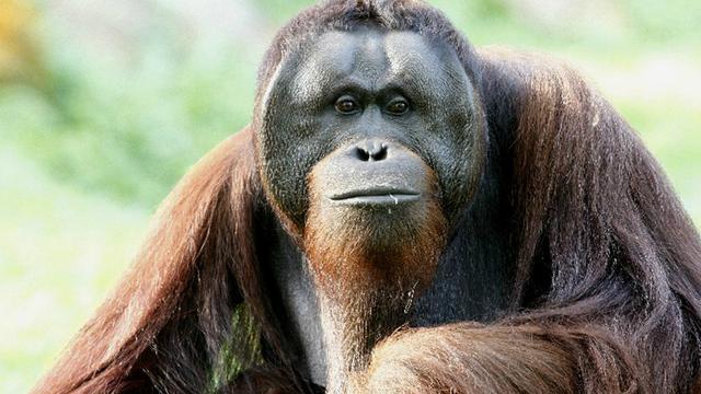 L'orang-outan de Sumatra fait partie des espèces de primates les plus menacées