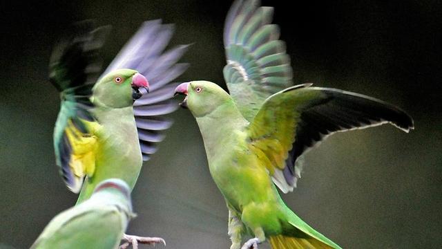 Les perroquets «toxicomanes» sont des perruches à collier, une espèce présente massivement en Inde.