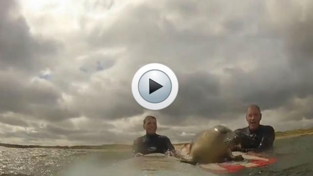 Le jeune phoque a passé environ une heure avec les surfeurs.