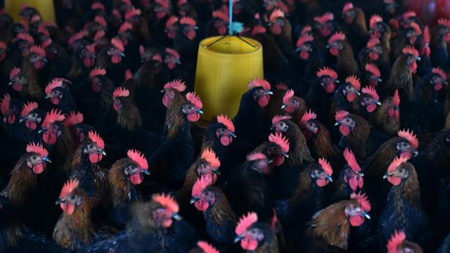 Un élevage de poulets en Chine, où les agriculteurs administrent massivement des antibiotiques aux animaux.