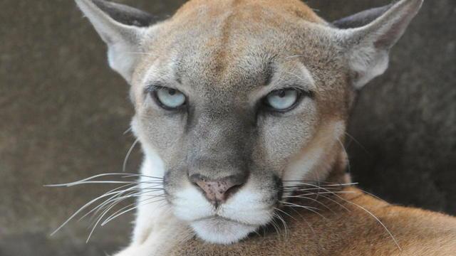 b53bba18c9fd0 Aucun puma concolor cougar n a été aperçu aux Etats-Unis ces huit dernières  décennies.  MIGUEL ALVAREZ   AFP