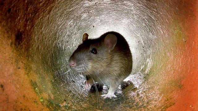 Les rats ont envahi les pelouses des Jardins du Louvre.