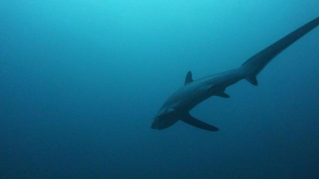 Un requin renard a été retrouvé échoué non loin du Mont Saint-Michel