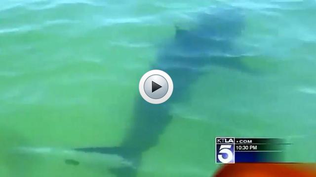 De plus en plus de requins blancs sont présents dans les eaux de Manhattan Beach.