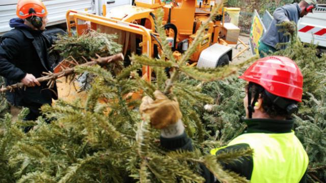 Au total, 97.356 sapins ont été collectés cette année, après les fêtes de Noël.