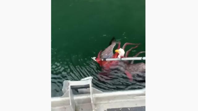 Un aigle, pris dans les tentacules d'un gros poulpe, a pu être sauvé de la noyade.