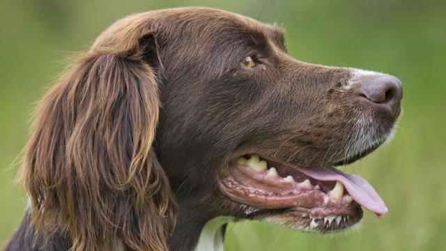 Les chiens respirent la gueule ouverte pour réguler leur température.