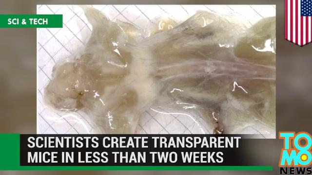 Des scientifiques américains sont parvenus à rendre une souris entièrement transparente (capture d'écran Youtube)