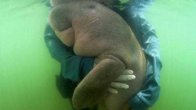 Le petit animal à la silhouette potelée, baptisé Mariam, a été retrouvé échoué sur une plage en mai, âgé de seulement six mois.