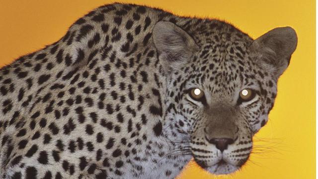 Les yeux des félins luisent davantage que ceux des autres animaux.