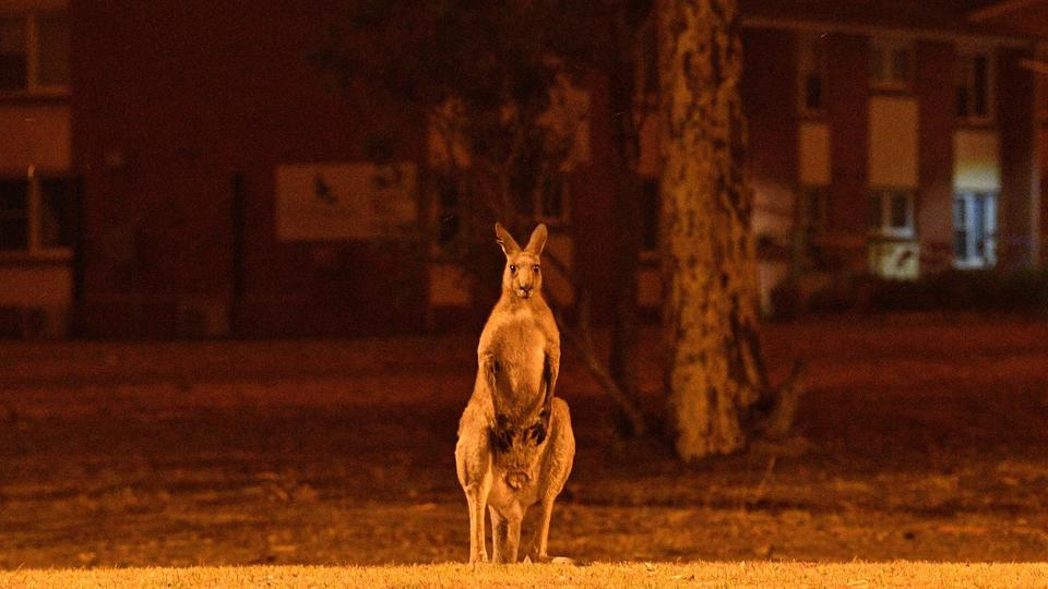 Un demi-milliard d'animaux auraient déjà péri dans les incendies en Australie selon une étude des chercheurs de l'université de Sydney. 18 personnes sont également décédées.