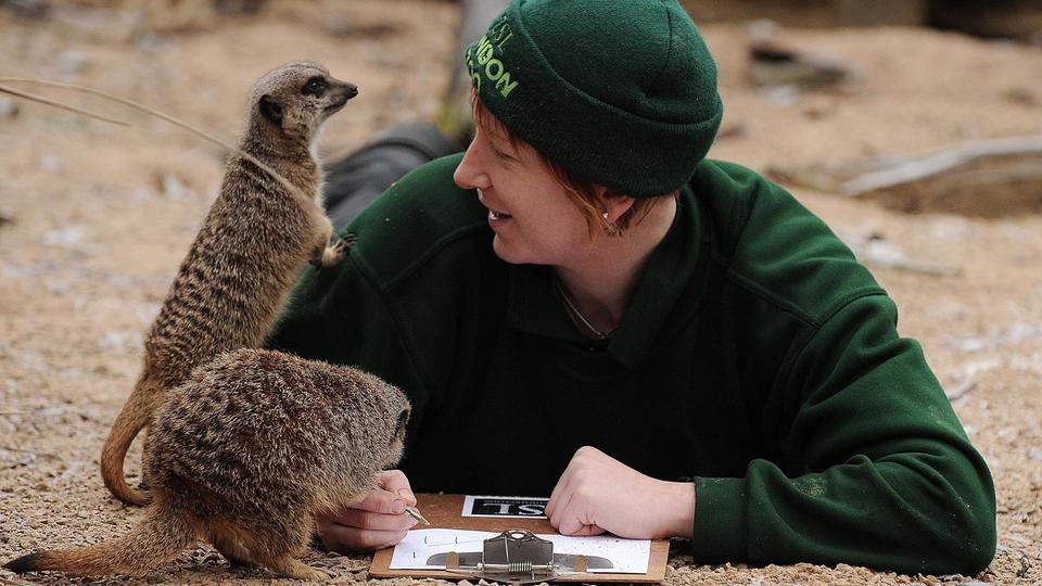 Originaires d'Afrique, les suricates peuvent profiter d'une partie des 15 hectares du zoo situé au nord de Regent's Park.
