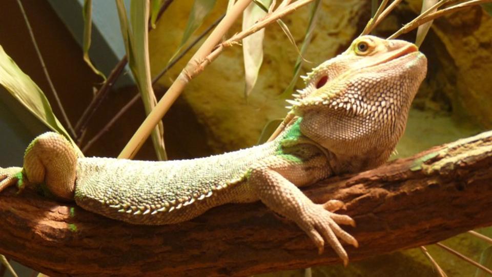 Le Dragon barbu, appelé également Agame barbu, est un grand lézard omnivore, atteignant parfois 60 centimètres de long (queue comprise), vivant en Australie (Nouvelle-Galles du Sud, Queensland, Victoria...). Le Dragon barbu apprécie la chaleur et les régions semi ou totalement désertiques. Son terrarium devra donc être bien chauffé (entre 36 et 40°) mais devra disposer également d'un point froid (entre 26 et 30°) [C. Rouanet / faaxaal.forumgratuit.ca]
