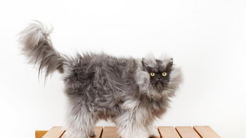 Colonel Meow  est la hantise des aspirateurs. La raison ? Ce persan colourpoint (ou himalayen) détient les mèches de poils les plus longues pour un chat. Elles ont été mesurées à 22,87 cm. Bonjour le ménage…