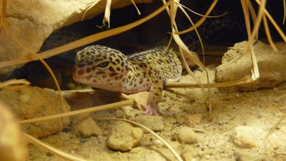 Le gecko léopard est un petit lézard qui est, malgré son aspect un peu farouche, très calme. Il est facilement manipulable, y compris par les enfants sous la supervision d'un adulte. Ce type de gecko mesure en moyenne 20 cm. Il convient parfaitement aux personnes intéressées par les reptiles et qui souhaite se lancer dans l'élevage… à condition de le nourrir une fois par semaine d'une dizaine de grillons. [C.Rouanet / faaxaal.forumgratuit.ca]