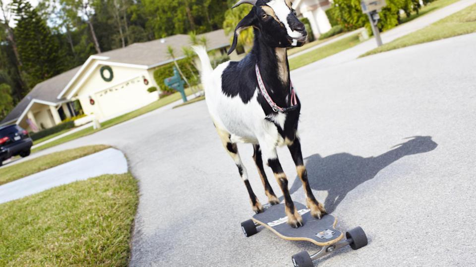 Happie la chèvre est aussi à l'aise pour gambader dans les prés qu'en équilibre sur un skateboard. Le 4 mars 2012, elle a réussi l'authentique exploit de parcourir 36 m en 25 secondes sur une planche de skate. Née d'un croisement avec une chèvre naine du Nigeria, cette jolie bique appartient à une famille originaire de Floride.[James Ellerker / Guinness World Records]