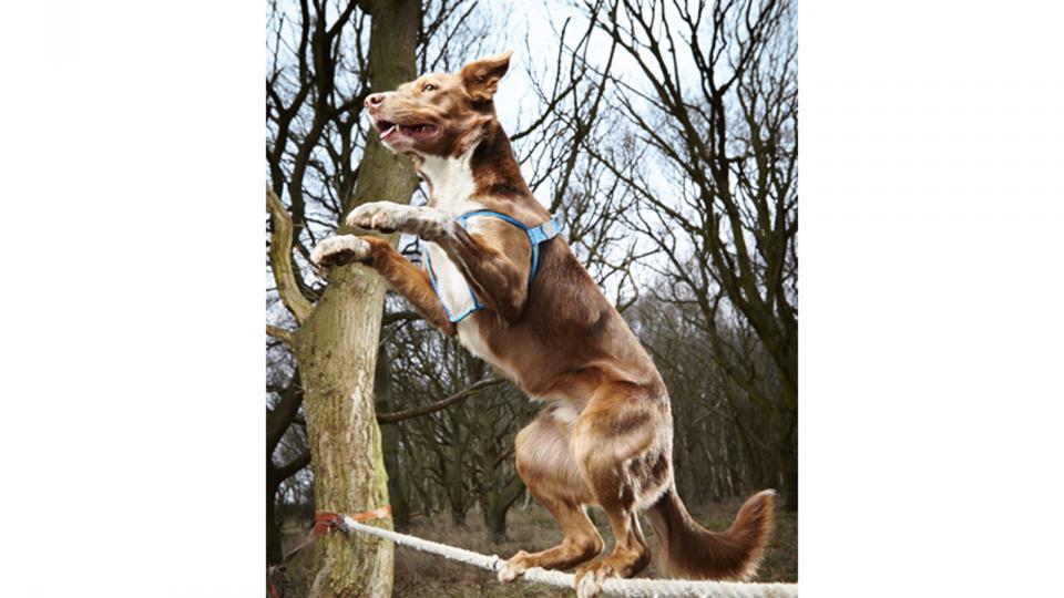 Dans la série toutou, Ozzy n'a rien à envier à Bella. Issu d'un croisement de border collier et de kelpie, il a mis 18,22 s à franchir une corde de 3,5 m. Ozzy est très fier d'être le chien funambule le plus rapide.