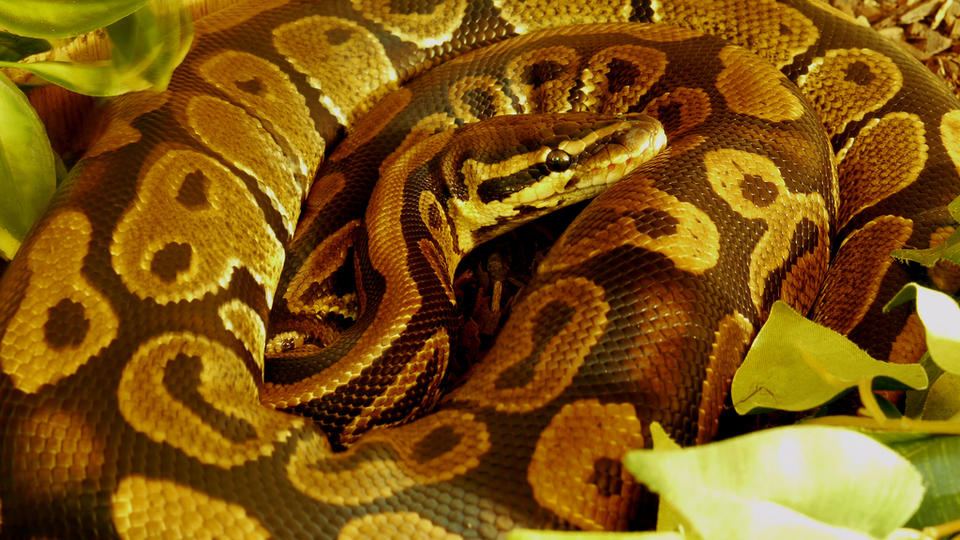 Le python royal est l'un des serpents les plus fréquemment élevés en captivité. Adulte, sa taille est d'environ 1,50 mètre. Réputé pour son tempérament docile, à condition d'acquérir un rare spécimen né en captivité, c'est aussi un animal robuste. Le python royal est un très beau serpent dont le comportement aventureux donne beaucoup de joie à son propriétaire, s'il est capable de tenir compte de ses particularités. [CC / Steven Bryden]
