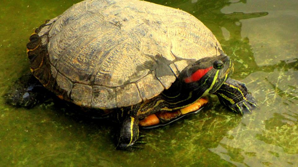 La tortue de Floride est un reptile et un animal de compagnie très répandu. Elle se reconnaît facilement à la rayure rouge ou jaune qu'elle a sur les tempes. Son ventre est jaune avec des taches noires et sa carapace vert-brun. De la taille d'une pièce de monnaie quand elle est jeune, cette tortue peut atteindre 25 cm à l'âge adulte pour un poids de 1 à 2 kg. Dans son milieu naturel en Amérique du Nord, elle peut faire jusqu'à 40 cm de long et 8 kg. Elle peut vivre jusqu'à 50 ans.[CC / Michel Craipeau]